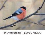 eurasian bullfinch  pyrrhula...   Shutterstock . vector #1199278300