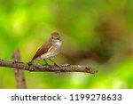 asian brown flycatcher on... | Shutterstock . vector #1199278633