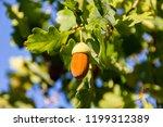Selective focus  ripe acorns...