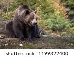 Brown bear is sitting on the rock in Bayerischer Wald National Park, Germany