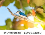 bird  collared kingfisher ... | Shutterstock . vector #1199323060