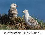 Two Seagull Chicks Standing On...
