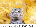 Stock photo lovely fluffy cat on background of golden leaves in the park gray cute kitten in fall forest pets 1199431369