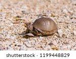 Three Toed Box Turtle On A...