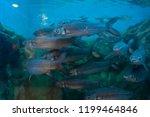 Red-finned cigar shark in fish tank.