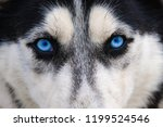 husky dog with blue eyes...   Shutterstock . vector #1199524546
