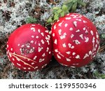 mushrooms themselves are... | Shutterstock . vector #1199550346