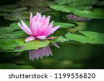 Beautiful Pink Water Lily Or...