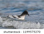 cape petrel  antartic bird  ant ... | Shutterstock . vector #1199575270