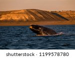 whale jumping in peninsula... | Shutterstock . vector #1199578780