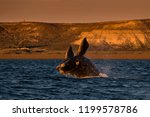 whale jumping in peninsula... | Shutterstock . vector #1199578786