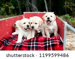 Stock photo adorable yellow lab puppy dogs on holiday red plaid blanket in red wagon for christmas surprise 1199599486