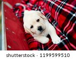 Stock photo adorable yellow lab puppy dog on holiday red plaid blanket in red wagon for christmas surprise 1199599510