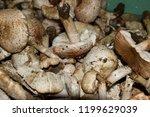 field champignons. edible...   Shutterstock . vector #1199629039
