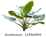 giant leaf  giant alocasia tree ... | Shutterstock . vector #119964094