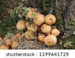 cluster of shaggy scalycap... | Shutterstock . vector #1199641729