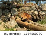 the lion among the rocks | Shutterstock . vector #1199660770