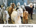 many goats in animal pen. ... | Shutterstock . vector #1199719816