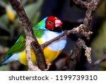 the gouldian finch  erythrura... | Shutterstock . vector #1199739310