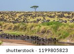 Big Group Of Wildebeests In Th...