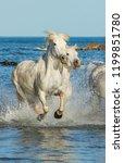 white camargue horses galloping ...   Shutterstock . vector #1199851780