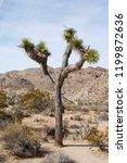 joshua tree in desert landscape ... | Shutterstock . vector #1199872636
