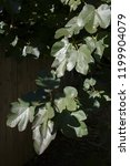 botanical background  fig tree...   Shutterstock . vector #1199904079