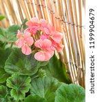geranium zonal  pelargonium... | Shutterstock . vector #1199904679