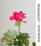 "geranium plant ""horizon divas... | Shutterstock . vector #1199904940"
