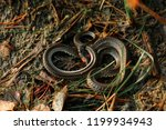 the grass snake natrix natrix ...   Shutterstock . vector #1199934943