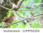 female northern cardinal... | Shutterstock . vector #1199952253