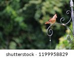 female northern cardinal... | Shutterstock . vector #1199958829