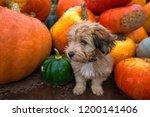 Pumpkin Harvest In Autumn Or...