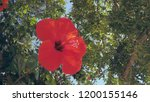 close up of a bright red...   Shutterstock . vector #1200155146
