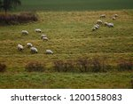 two groups of sheep grazing in... | Shutterstock . vector #1200158083