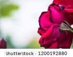 red rose flower close up | Shutterstock . vector #1200192880
