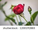 red rose flower close up | Shutterstock . vector #1200192883