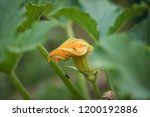 close up of home grown... | Shutterstock . vector #1200192886