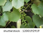 close up of green vine foliage | Shutterstock . vector #1200192919