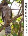 eurasian sparrowhawk  accipiter ...   Shutterstock . vector #1200193789