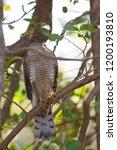 eurasian sparrowhawk  accipiter ...   Shutterstock . vector #1200193810