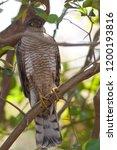 eurasian sparrowhawk  accipiter ...   Shutterstock . vector #1200193816