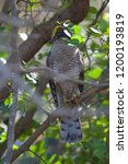 eurasian sparrowhawk  accipiter ...   Shutterstock . vector #1200193819