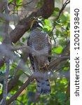 eurasian sparrowhawk  accipiter ...   Shutterstock . vector #1200193840