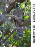 eurasian sparrowhawk  accipiter ...   Shutterstock . vector #1200193843