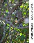 eurasian sparrowhawk  accipiter ...   Shutterstock . vector #1200193846
