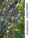eurasian sparrowhawk  accipiter ...   Shutterstock . vector #1200193849