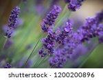 bunch of lavender flowers  | Shutterstock . vector #1200200896