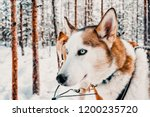 husky dog sled in finland of... | Shutterstock . vector #1200235720