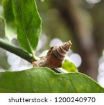 Small photo of A close-up photograph of an empty chrysalis of a Butterfly in a tree in Brisbane, Australia.